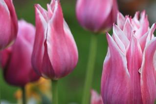 Tulip 'Ballade'