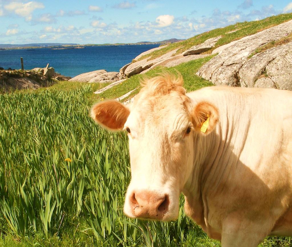 Hello u cutie Flickr Cows with - ATTITUDE