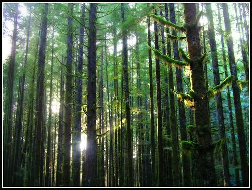 trees light sun sunlight green forest moss britishcolumbia mapleridge answer goldenearsprovincialpark kobol spireanaturetrail whatisaforest spireanaturearea watchoutforthetoasters
