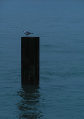one lone seagull against the elements