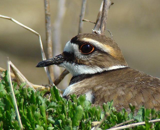Killdeer on the Nest