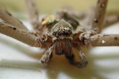 arthropod(1.0), animal(1.0), spider(1.0), invertebrate(1.0), macro photography(1.0), european garden spider(1.0), fauna(1.0), close-up(1.0), tarantula(1.0), wolf spider(1.0),