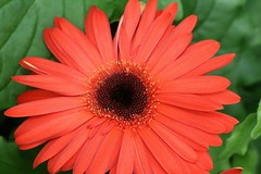 annual plant, flower, red, plant, gerbera, macro photography, flora, close-up, petal,