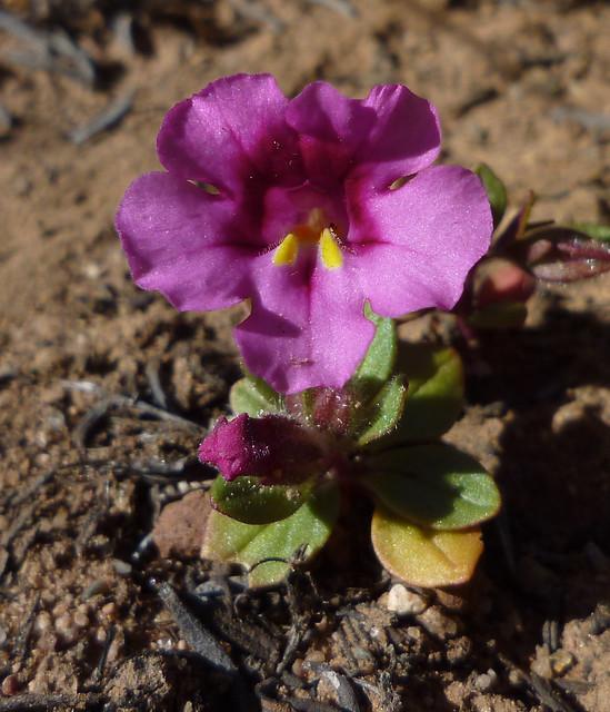 fremont's monkeyflower - mimulus fremontii