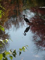 Reflected Heron, New England