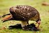 Red Tail Hawk by Bryn Tassell