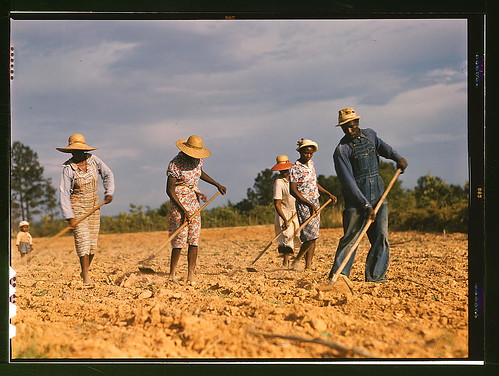 Chopping cotton on rented land near White Plains, Greene County, Ga. (LOC)