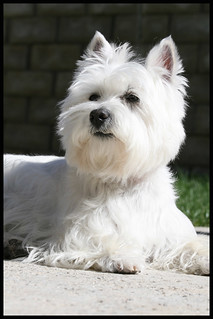 Wee Westie - Soaking up the Sun