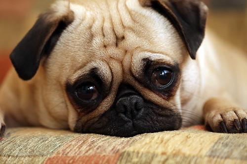 Sad Pug Puppy   Flickr - Photo Sharing!