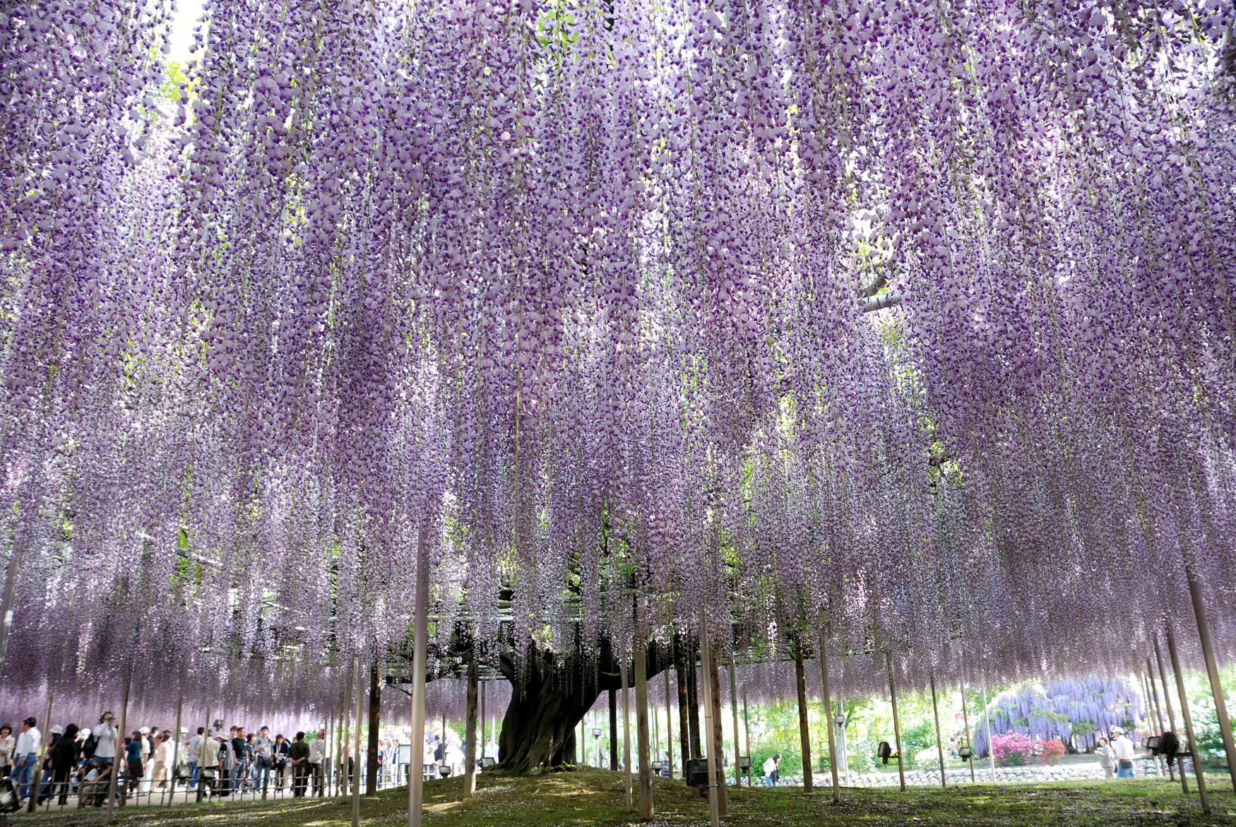 Massive Japanese Wisteria Pics