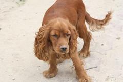 dog breed, animal, sussex spaniel, dog, boykin spaniel, welsh springer spaniel, pet, field spaniel, irish setter, setter, english cocker spaniel, picardy spaniel, spaniel, carnivoran,