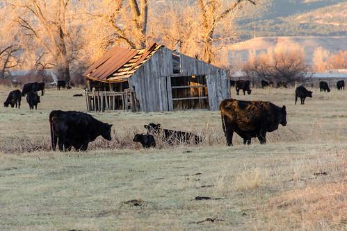 boulder colorado commute cows outdoors sunrise
