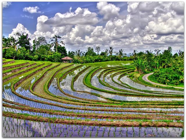 Rice Terraces | Tabanan | Bali