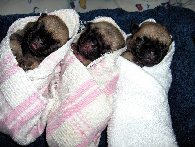 Newborn Pug Puppies Pictures http://www.flickr.com/photos/14662978@N05/1509131828/