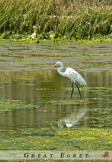 ________ Great Egret ________