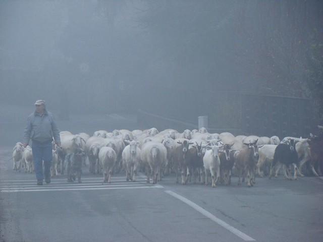 nella nebbia, il gregge
