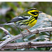 Townsend's Warbler - Photo (c) Derek Scott, some rights reserved (CC BY-NC)