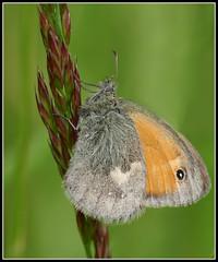 Le Procris (Coenonympha pamphilus)