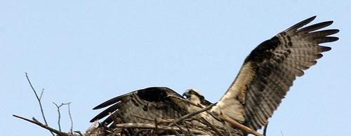 Osprey by G. Norsworthy