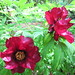 Small photo of Deep red Paeony