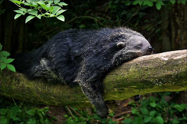 Sleeping Binturong or Bearcat