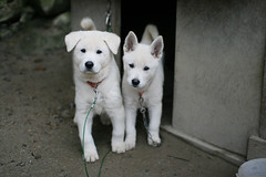 dog breed, animal, dog, siberian husky, canaan dog, pet, white shepherd, east siberian laika, berger blanc suisse, kishu, korean jindo dog, sled dog, carnivoran,