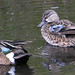 Blue Winged Teal 5479