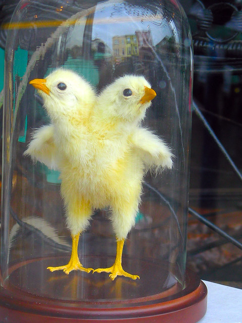 Fake Two Headed Spring Chicken Under Glass Flickr