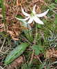 giant white fawn lily - Photo (c) J Brew, some rights reserved (CC BY-SA)