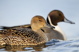Delta Waterfowl Wallpaper Pintail couple