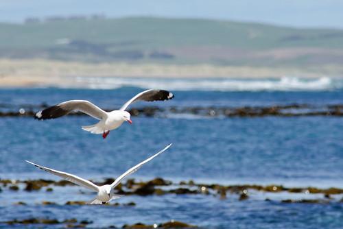 Fishing gulls off Waipapa Point, Catlins, Southeast New Zealand