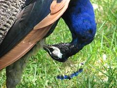 Peacock At Mysore Lake park