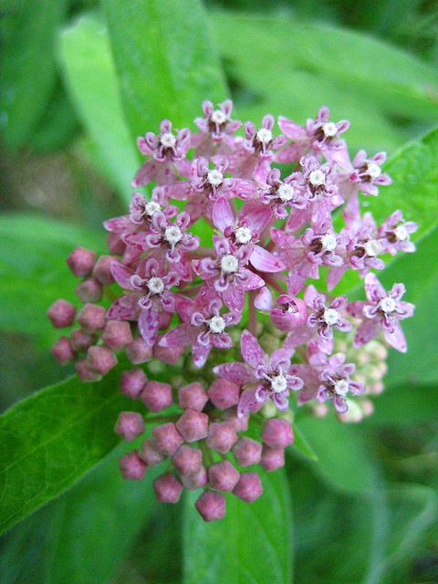 Asclepias incarnata in the Bog area of the Native Flora Garden. Photo by Uli Lorimer.
