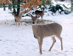 Deer in my Parent's Front Yard