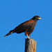 Harris's Hawk - Photo (c) Jerry Oldenettel, some rights reserved (CC BY-NC-SA)