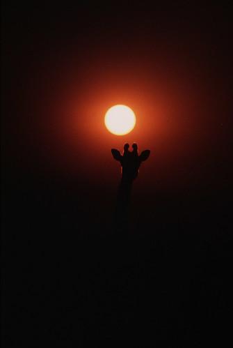 tanzania giraffe wildlifesafari headsup twiga myfavouriteshot gameviewing giraffacamelopardalis tallestmammal tropicalsunset tarangirenationalpark masaigiraffe africanmammals giraffidae africansunsets manyararegion apoetonamotorcycle tanzanianmascot nationalsymboloftanzania underexposedsilhouette