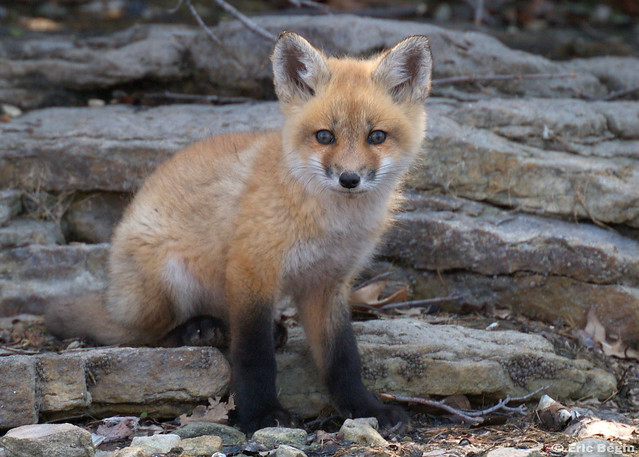 Red fox pup ( wild ) | Flickr - Photo Sharing!