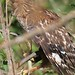 Red-shouldered Hawk with snake fighting