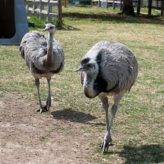 wildlife(0.0), emu(1.0), animal(1.0), zoo(1.0), ostrich(1.0), flightless bird(1.0), fauna(1.0), beak(1.0), bird(1.0), ratite(1.0),