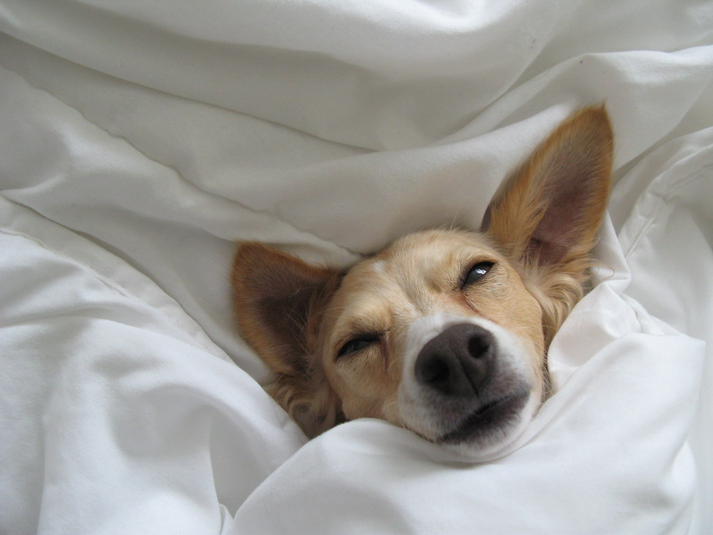 A sleepy puppy sticks his head out of the covers! If you want to take a dog-friendly road trip, make sure you find dog-friendly accommodations ahead of time!