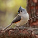 Tufted Titmouse - Photo (c) ehpien, some rights reserved (CC BY-NC-ND)