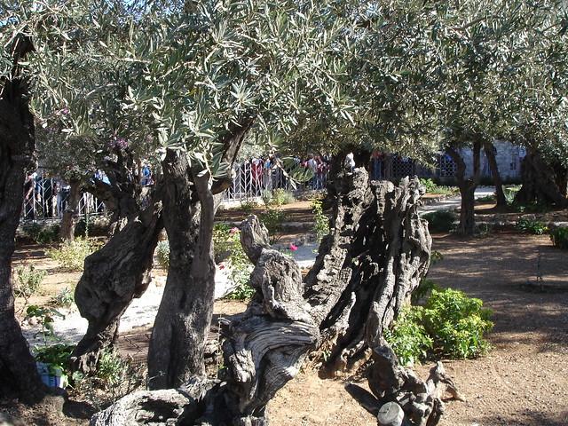 Dsc04534 Garden Of Gethsemane The Garden Of Gethsemane Is Flickr Photo Sharing