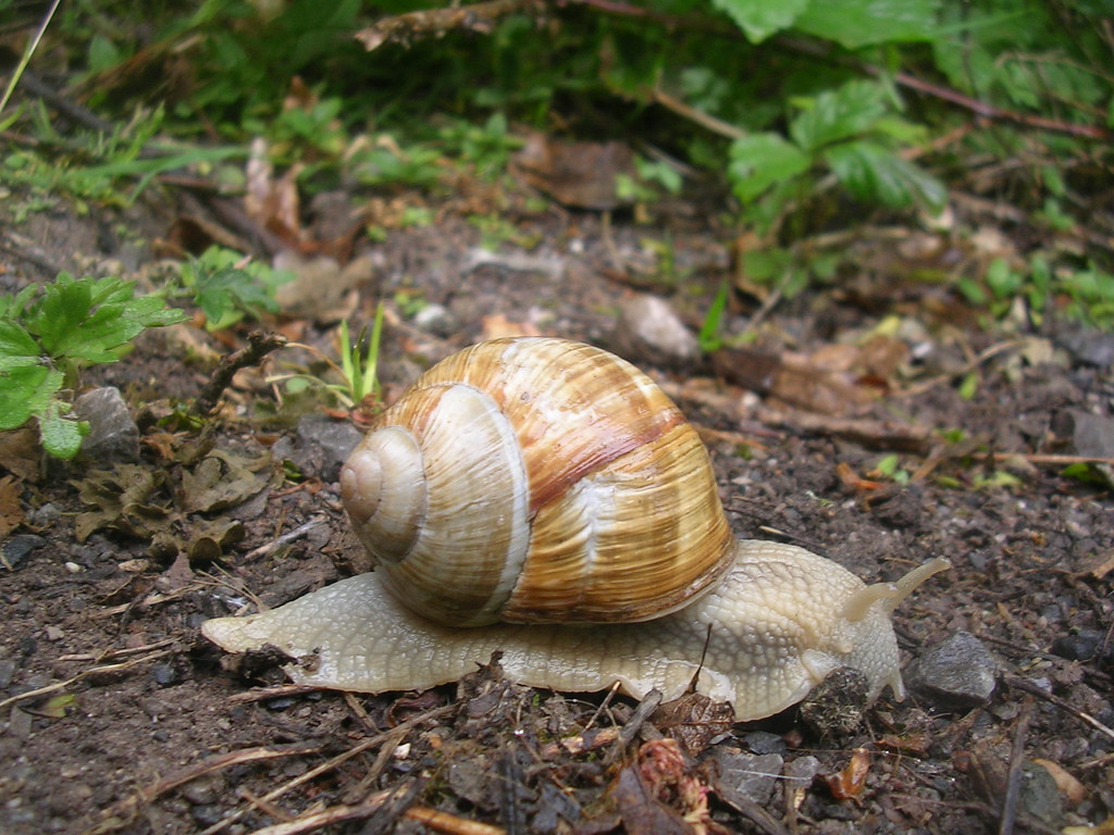 Roman (edible) snail We saw quite a few on one stretch. Whyteleaf Circular