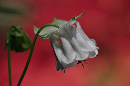 White Columbine flower, Aquilegia