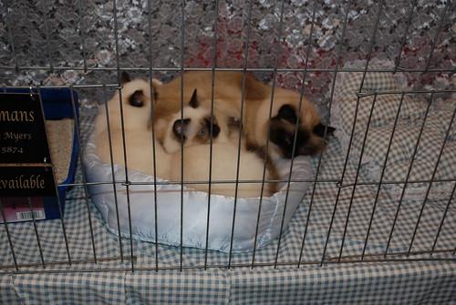Birman Kittens For Sale Nj Craft Wookie...