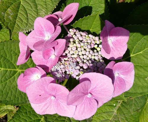 Ortanca - Hydrangea - Hortênsia ...and all of the above :)