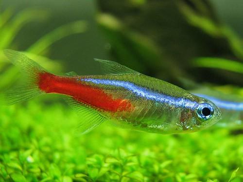 5 Some Types Of Tetras 8 Types Of Popular Aquarium Fish