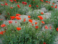 annual plant, eschscholzia californica, flower, wildflower, flora, coquelicot, meadow, poppy,