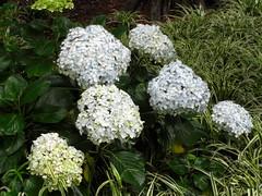 yarrow(0.0), hydrangea(1.0), shrub(1.0), flower(1.0), plant(1.0),