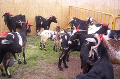 dairy cow(0.0), food(0.0), cattle(0.0), pasture(0.0), cattle-like mammal(1.0), animal(1.0), dairy(1.0), mammal(1.0), goats(1.0), domestic goat(1.0),